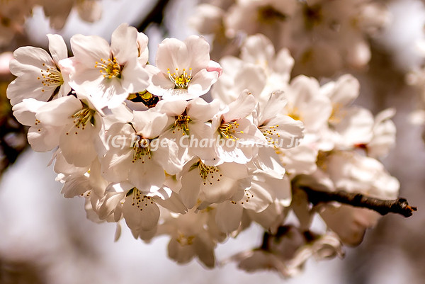 Washington DC Cherry Blossom Festival 2016