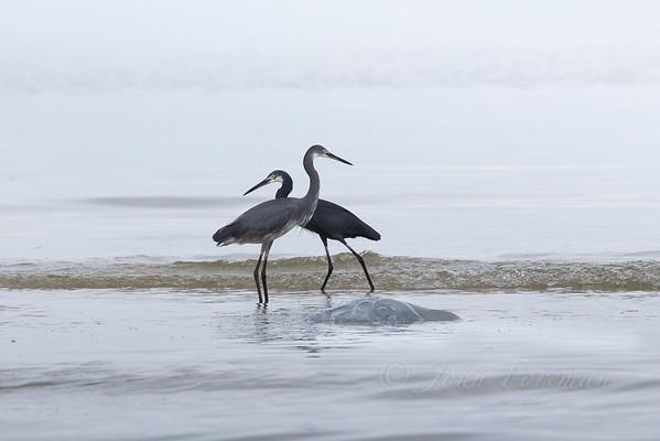 Dimorphic Egrets