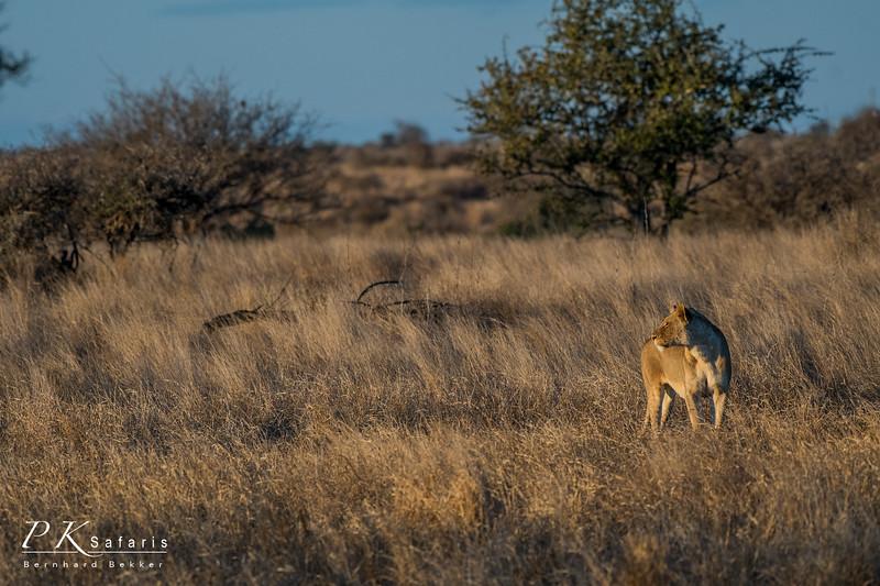 Wide lioness shot