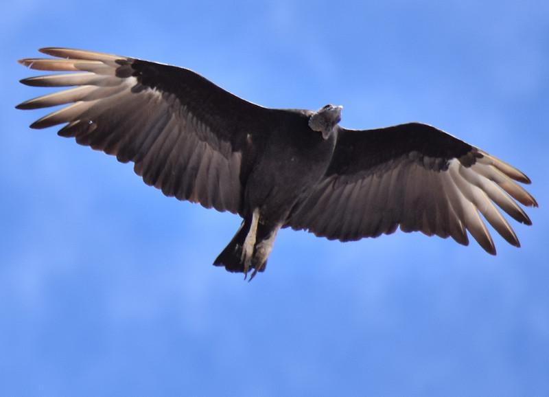 2016 valdivia vulture undershot.jpg