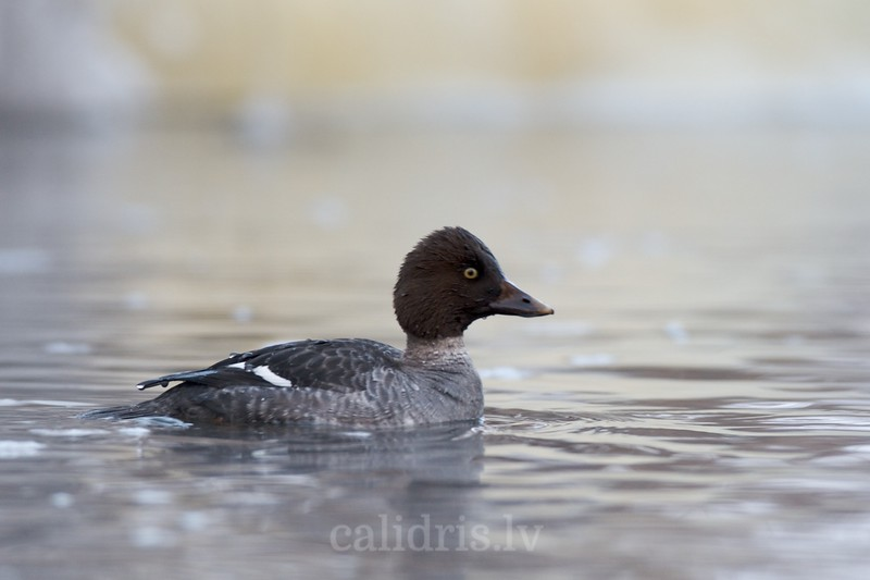Goldeneye (juv.) in winter