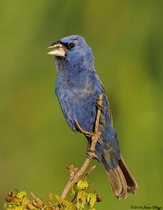 Blue Grosbeak, Guiraca caerulea