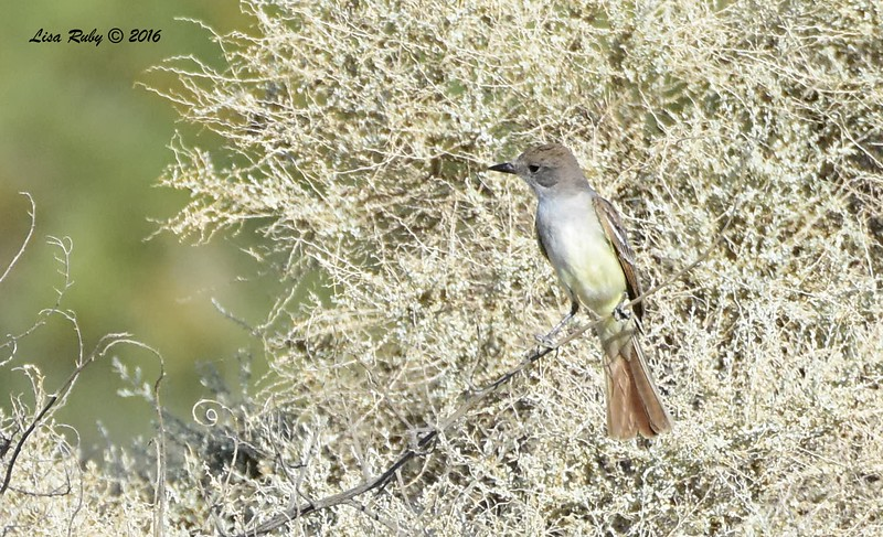 Ash-throated Flycatcher (immature?)  - 5/26/2016 - Borrego Springs Mesquite Bosque