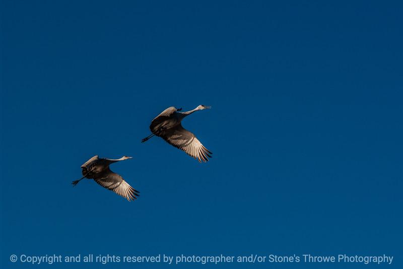 015-birds-bosque_del_apache_nm-02dec06-12x08-008-350-3216