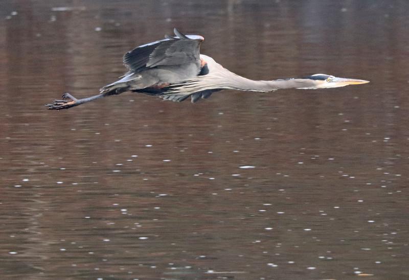 Great blue heron flying low