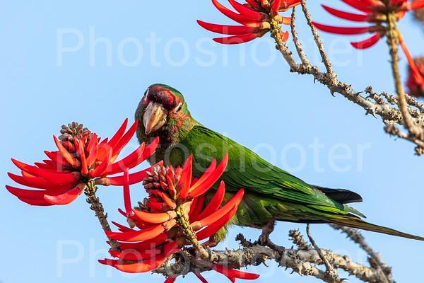 Wild Parrots of Manhattan Beach, CA