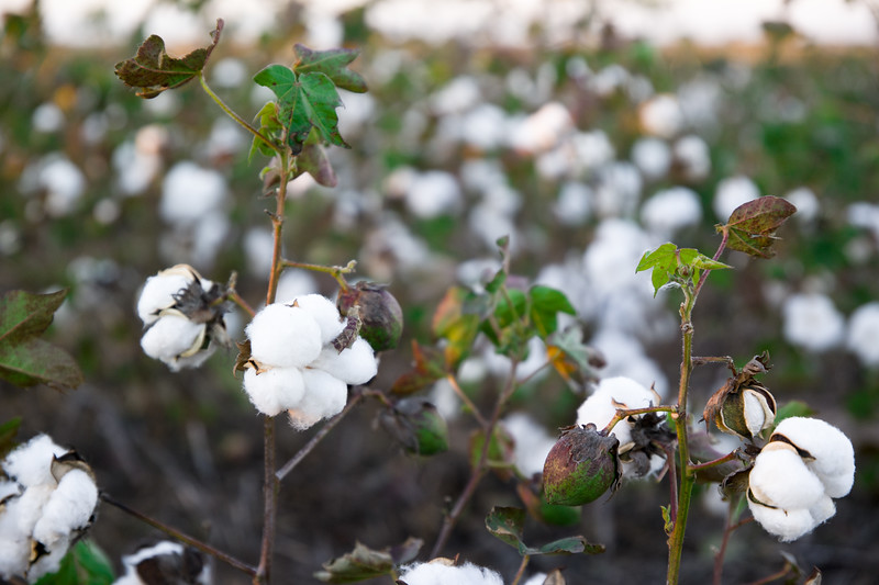 Cotton Plant Near Claude, TX
