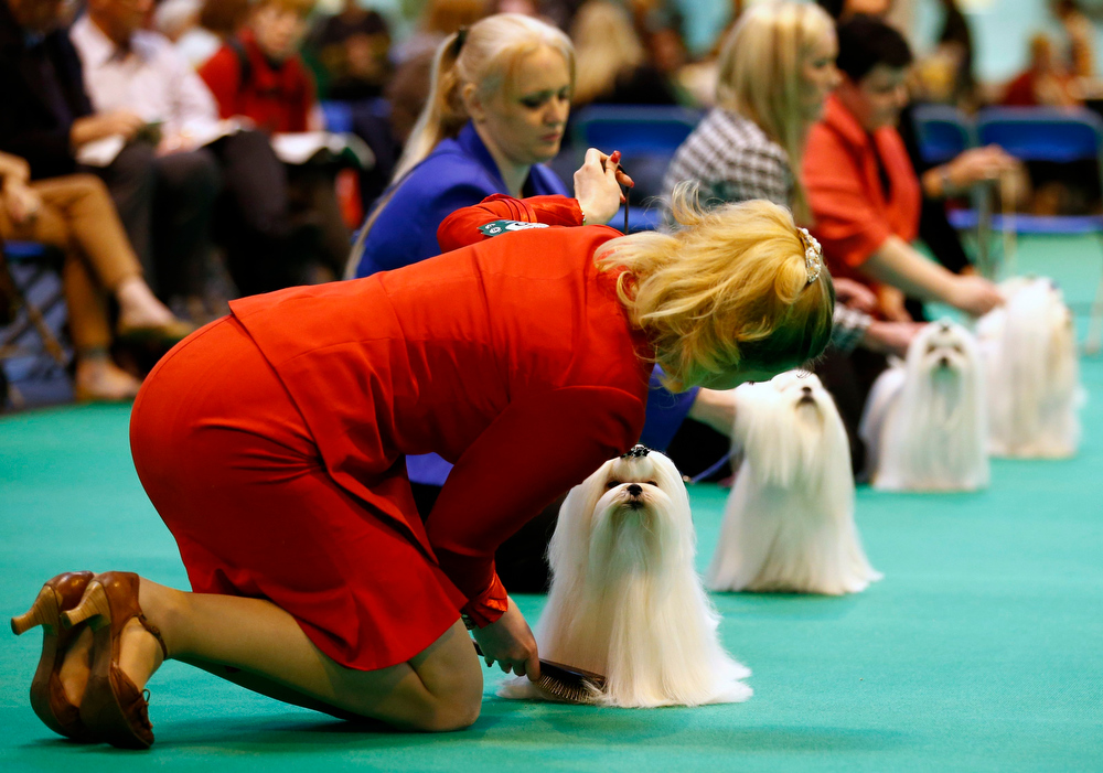 . Maltese dogs are lined up for the judge during the second day of the Crufts Dog Show in Birmingham, central England March 8, 2013. REUTERS/Darren Staples