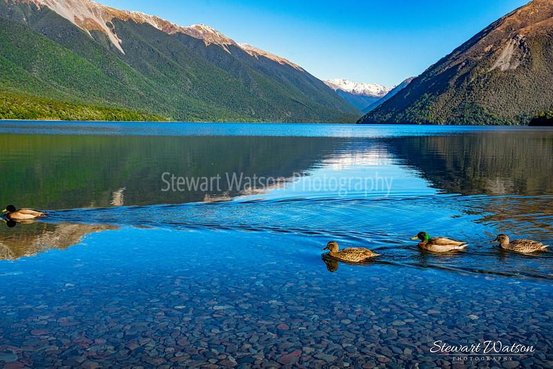 Lake Rotoiti ducks on the move