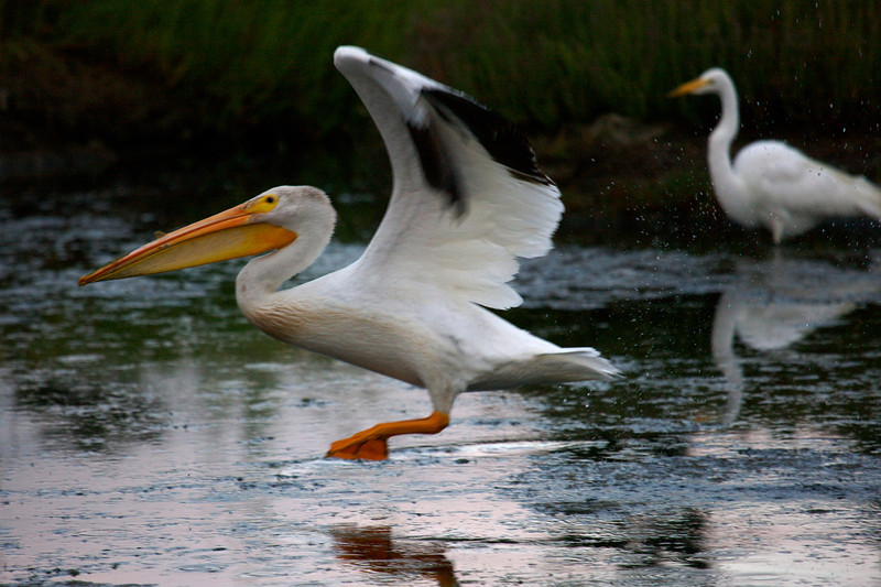 White Pelican at dawn with Great Egret in BG