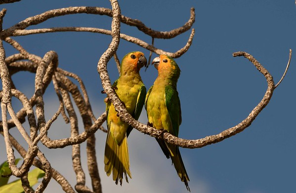 Brown-throated Parakeets