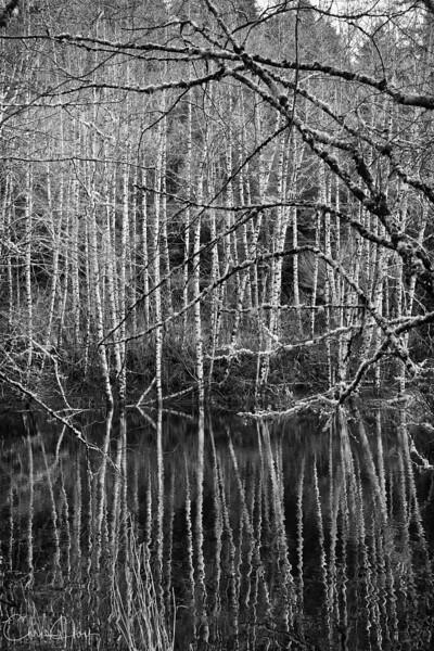 Alder Reflection near Neskowin-1