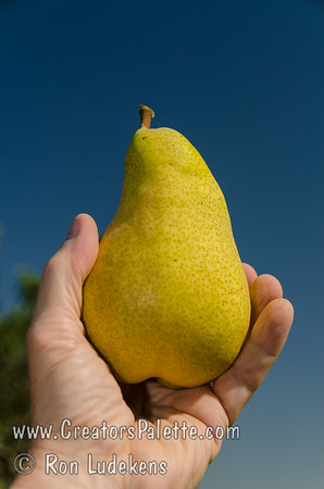 Pineapple Pear (Pyrus communis)