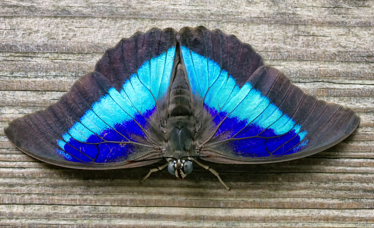 i 2VwrvsW X2 The Blue Belly Button Butterfly