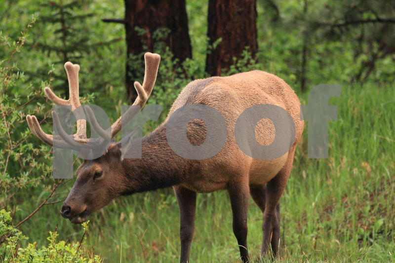 Rocky mountain bull elk, Estes Park, CO