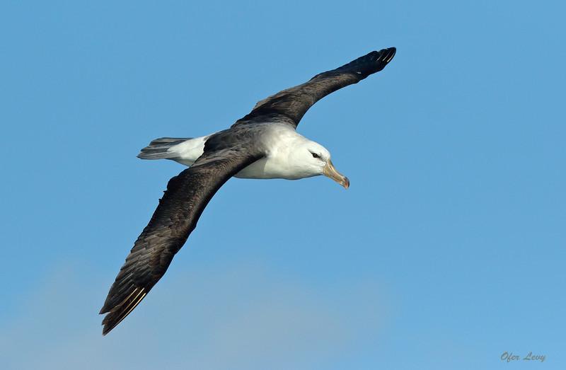 Black-browed Albatross 2 MASTER.jpg