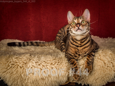 PROOF Toyger TickedTICA 17-11-13