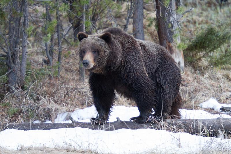 Grizzly bear boar male Yellowstone National Park WY IMG_0503.jpg