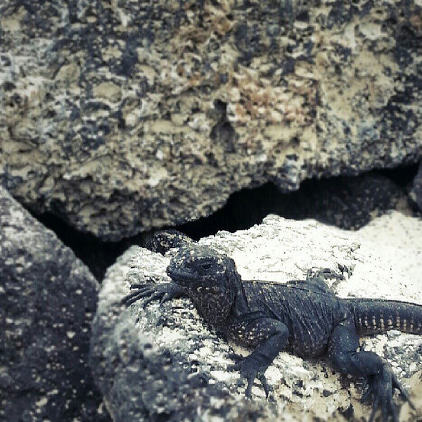 Arrived_today_on_Isabela_island_where_you_really_have_to_be_careful_where_you_step_as_there_are_so_many_marine_iguanas._Apparently_there_are_also_penguins_here__one_of_the_few_animals_I_have_not_seen_yet..jpg