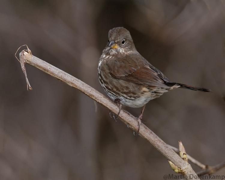 foxsparrowonbranch.jpg