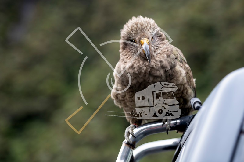 Curious Kea parrots taking on a camper van