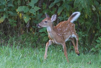 2017 09 White tailed Deer Smithville TN