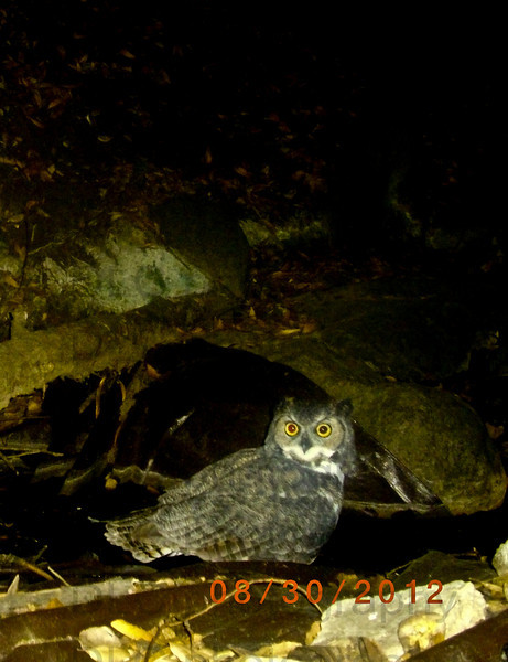 Great Horned Owl3.jpg