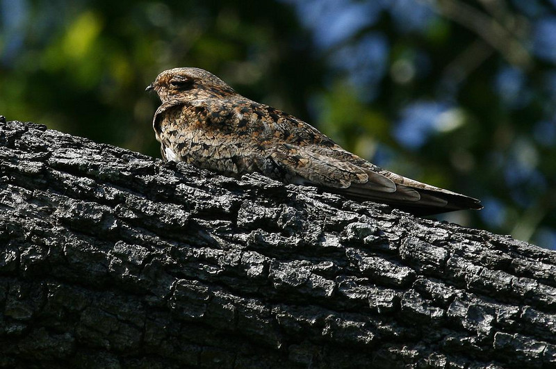 Common Nighthawk, High Island, Tx. 4-20-09