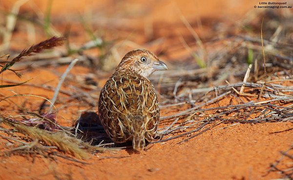 Buttonquail Family Turnicidae