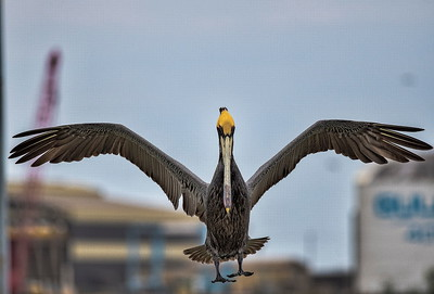 Galveston 20th St Pier: Shrimp Boats & Pelicans with the Bridgeland Photography Group