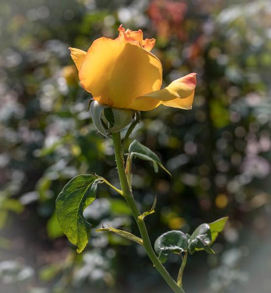 Rose Garden 8.2018-0793.jpg