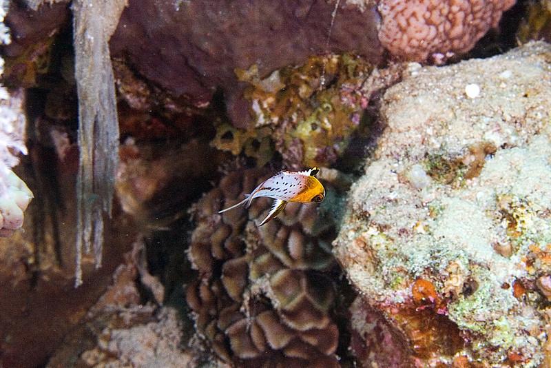 Lyretail Hogfish juv.jpg