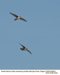 Prairie Falcon P64047c.jpg