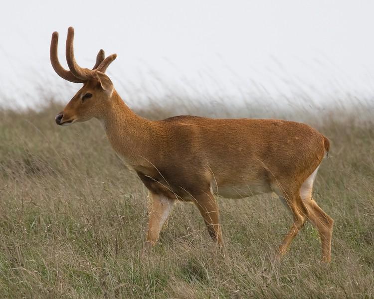 Elds Deer.jpg