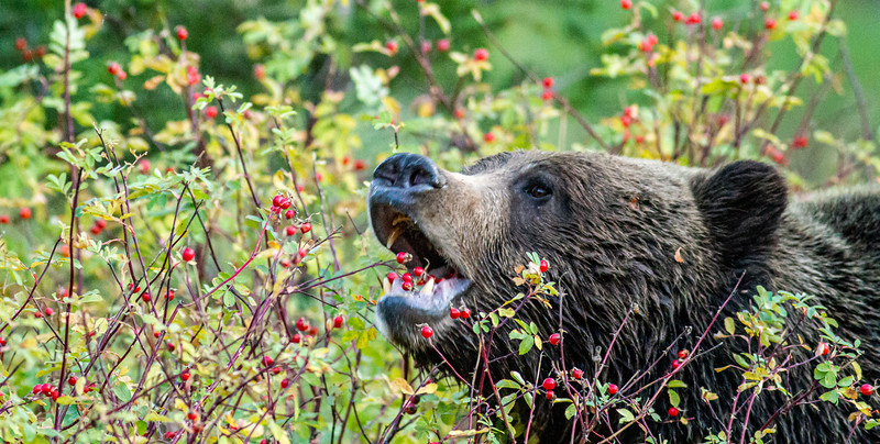 Grizzly Bear eating rose hips Northfork Shoshone River outside east entrance Yellowstone National Park WY  IMG_0405.jpg