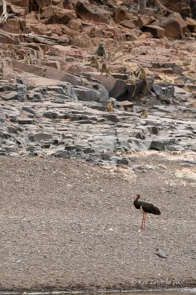 Black Stork and Yellow Baboons, Mashatu Game Reserve