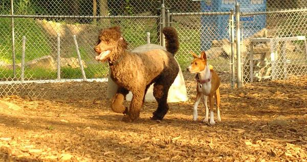 july 1 resize::TAYDA & LUCY (poodle)