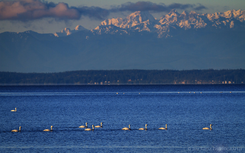 Olympic Swans