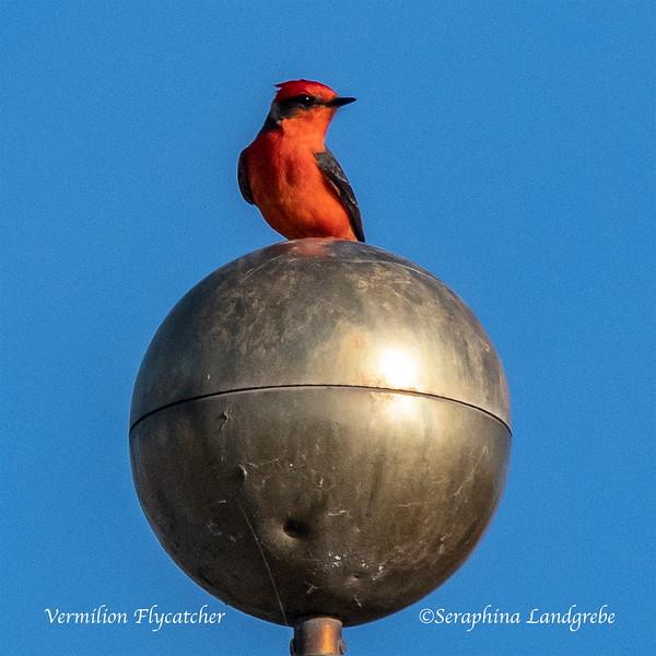 _DSC1410Vermillion Flycatcher Globe b.jpg