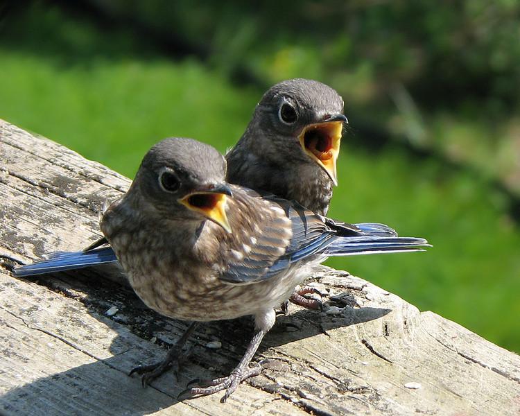 bluebird_fledgling_6840.jpg