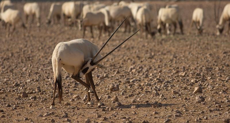 Arabian Oryx (59).jpg