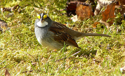 white-throated sparrows