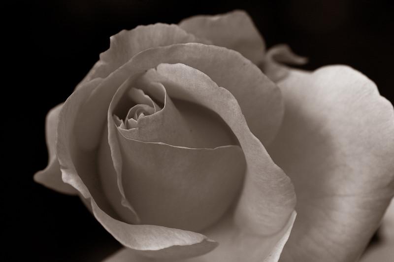 rose, bellevue botanical gardens