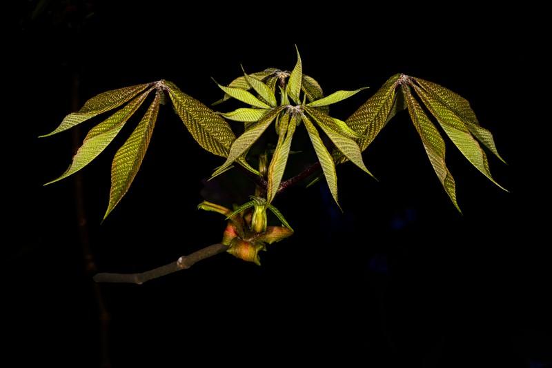 DSC_5578 Ll New Tree leaves PS- Horse Chestnut .jpg