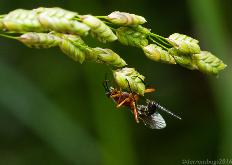 A parasitic wasp, family Ichneumonidae, oviposits in grass seeds in Wisconsin, USA. Her target is not the grass itself, but other insect eggs and larvae hidden within. When she finds a suitable host, she will lay her eggs in or around the doomed eggs or larvae, which will hatch and devour them.