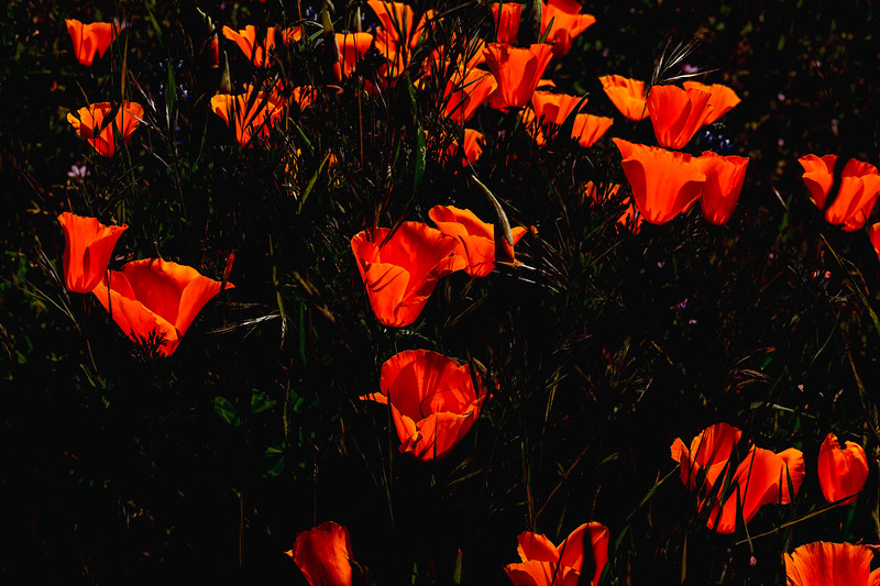 Poppies 2, Henry Coe State Park, California, 2010