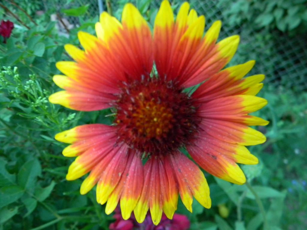 ". \""POW!\"" - Daniel J. Steffes� blanketflower was its own spring sunrise.  Photo by Daniel J. Steffes"