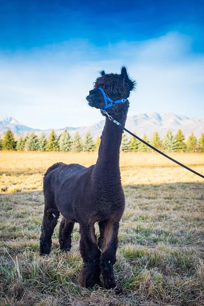 wlc Corinna Porter Alpacas205November 19, 2016.jpg