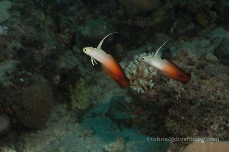 Fire Gobies © Chris Mitchell