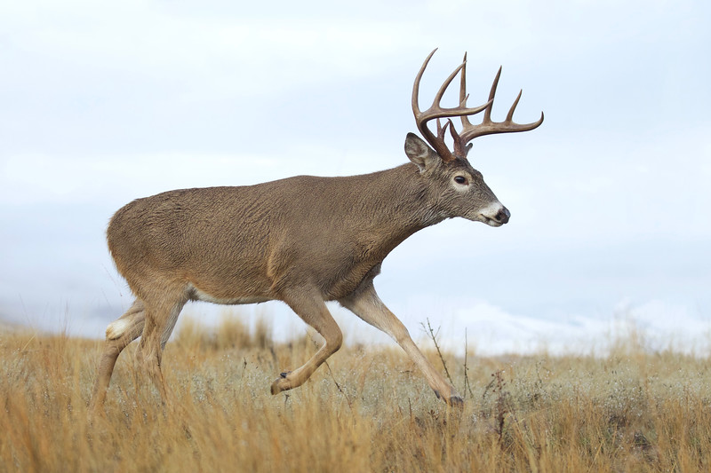 Whitetails in the Wild - 10.jpg